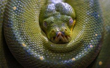 морда, взгляд, змея, зеленая, питон, рептилия