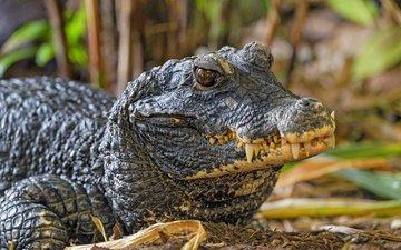морда, взгляд, зубы, крокодил, рептилия