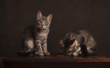 мордочка, взгляд, котенок, кошки, котята, корм
