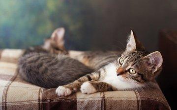 мордочка, взгляд, котенок, кошки, кровать, котята, лежат