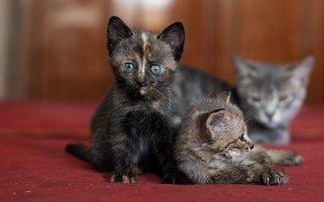 мордочка, взгляд, котенок, кошки, мама, котята, боке