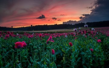 небо, цветы, лес, закат, тучи, лето, маки, луг, розовые, много, сумерки, маковое поле
