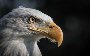 орел, птица