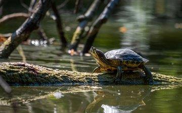 отражение, ветки, черепаха, водоем, бревно, водная черепаха