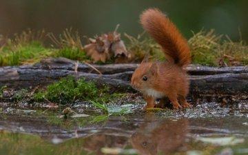 отражение, взгляд, водоем, рыжая, белка, бревно, бельчонок