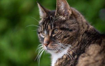 портрет, кот, мордочка, взгляд, профиль, серьезный
