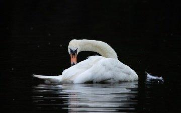 поза, водоем, птица, черный фон, изгиб, перо, плавание, лебедь, шея