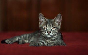 поза, мордочка, взгляд, котенок, лежит, серый, красный фон, фотостудия