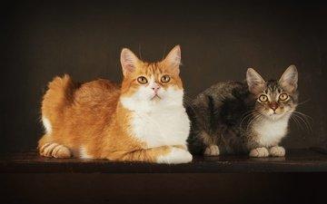 поза, взгляд, котенок, серый, кошки, котята, рыжий, лежат, мордочки