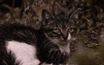 природа, листья, поза, кошка, взгляд, котенок, лежит, темный фон, мордашка, боке, пятнистый