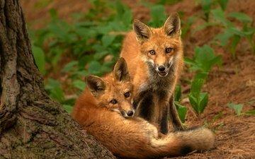 природа, поза, взгляд, парочка, рыжие, лисята, лисы