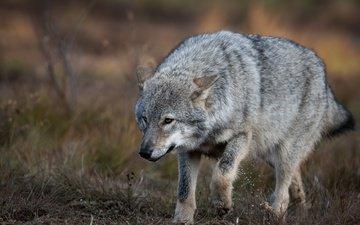 природа, поза, взгляд, серый, прогулка, волк, крадётся