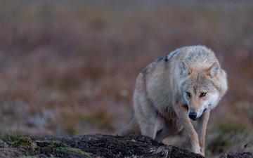 природа, поза, взгляд, волк, боке
