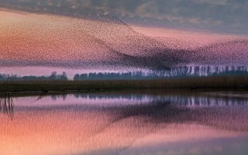 птицы, стая, нидерланды, скворцы