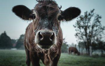 скот, корова