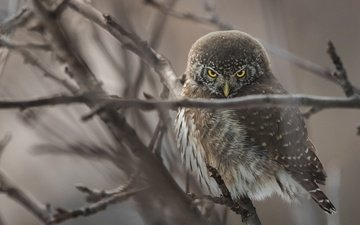 сова, дерево, ветки, птица, сыч