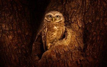 сова, дерево, взгляд, птица, кора, дупло, сыч