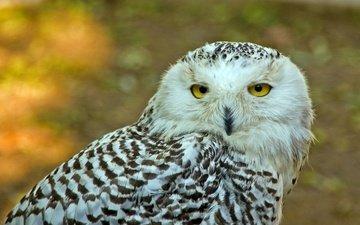 сова, взгляд, птица, полярная сова, желтые глаза