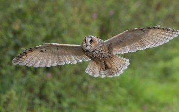сова, природа, полет, птица, размах крыльев