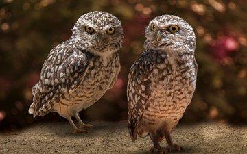 сова, взгляд, птицы, боке, совы, сыч, сычи