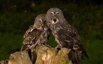 сова, взгляд, птицы, темный фон, пень, совы, неясыть
