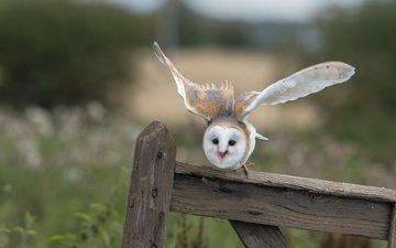 сова, взгляд, забор, доски, птица, сипуха, взмах крыльев