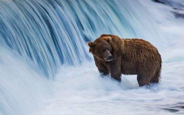 сша, аляска, бурый медведь