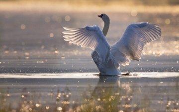 свет, поза, водоем, птица, плавание, лебедь, боке, взмах крыльев