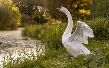 свет, трава, озеро, берег, поза, крылья, водоем, птица, пруд, лебедь