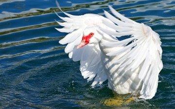 свет, вода, водоем, птица, перья, гусь, взмах крыльев