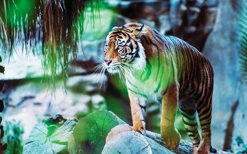 тигр, камни, поза, взгляд, блики, бревна, зоопарк, стоит, боке, размытый фон