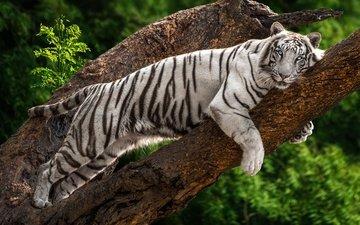 тигр, морда, дерево, листья, взгляд, лежит, отдых, голубые глаза, боке
