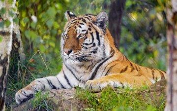 тигр, морда, камни, зелень, лапы, листва, взгляд, лежит, боке