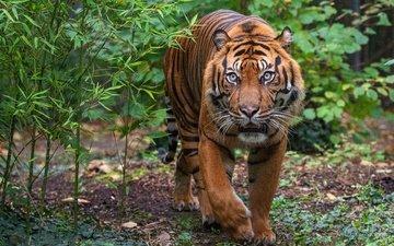тигр, морда, листья, поза, кусты, взгляд, прогулка, крадётся