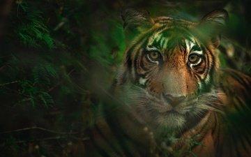 тигр, морда, листья, взгляд, боке
