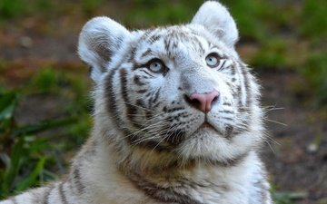 тигр, морда, портрет, взгляд, тигренок