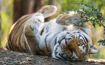 тигр, морда, поза, лапы, ветки, взгляд, лежит, отдых, боке