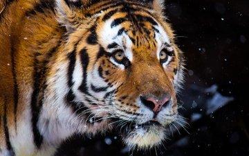 тигр, морда, снег, зима, портрет, взгляд, темный фон, снегопад