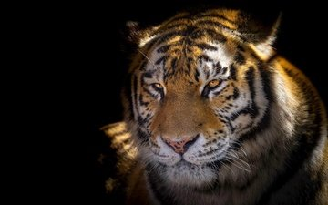 тигр, морда, свет, портрет, взгляд, черный фон