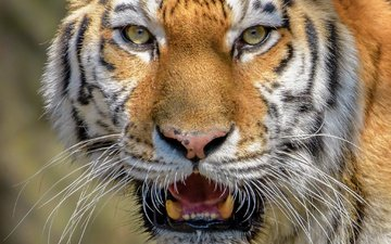 тигр, морда, взгляд, крупный план, дикая кошка