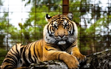тигр, морда, взгляд, забор, зоопарк, боке