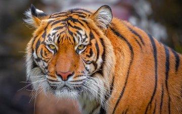 тигр, морда, взгляд