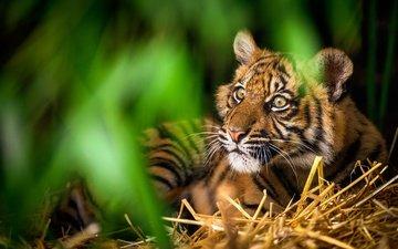тигр, морда, зелень, дикая кошка