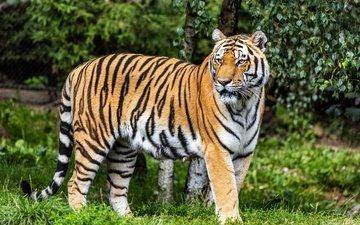 тигр, природа, листья, взгляд