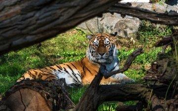 тигр, ветки, взгляд, лежит, коряга, бревно