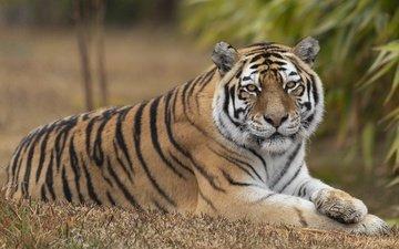 тигр, взгляд, лежит, отдых