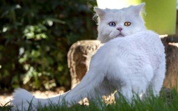 трава, природа, поза, кот, кошка, взгляд, мордашка, хвост, боке, вид сзади