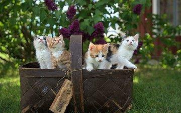 весна, корзина, котята, сирень