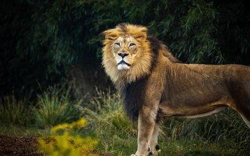 ветки, кусты, взгляд, лев