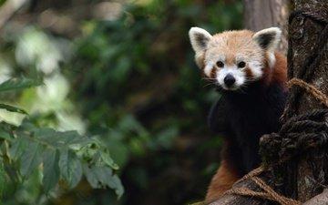 ветки, листва, взгляд, красная панда, малая панда